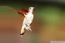 Fliegender Anna Kolibri