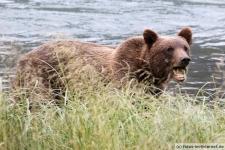 Braunbär in Haines, Chilkoot River