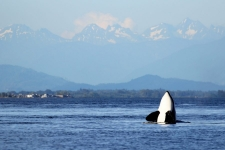 Orca Spyhop