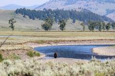 Bison im Lamar Valley