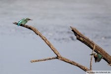 Zwei Eisvögel