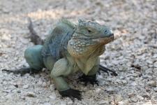 Blauer Leguan