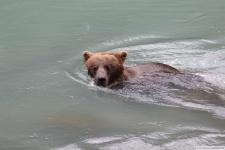 Chilkoot Lake, Braunbär
