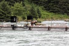 Braunbär, Chilkoot River