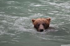 Grizzlybär in Haines