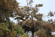 Homer, Weißkopfseeadler