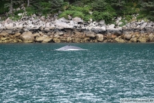 Buckelwal Rücken