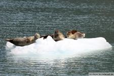 Eisscholle-Seehunde-1
