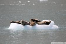 Eisscholle-Seehunde-2