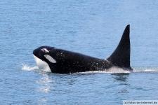Orca taucht auf