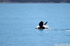 Killerwal auf dem Rücken