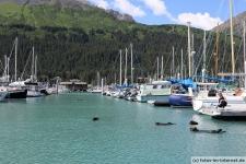 Seeotter im Hafen von Seward