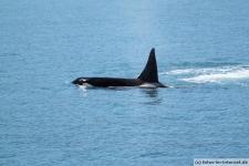 Orca-Seward-16