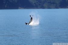 Orca-Seward-9