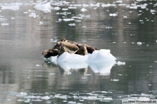 Eisscholle-Seehunde-3