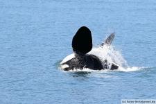 Orca schwimmt auf dem Rücken