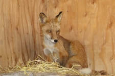 Alaska Wildlife Conservation Center, Fuchs