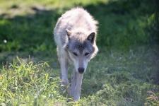 Alaska Wildlife Conservation Center, Wolf