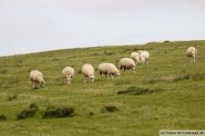 Deich, Schafe