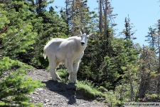 Mountain Goat (Bergziege) im Glacier Nationalpark