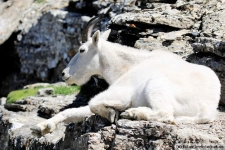 Mountain Goat (Bergziege) im Glacier Nationalpark