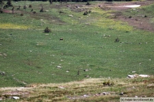 Grizzlybär am Hidden Lake Trailhead
