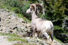 Dickhornschaf im Glacier Nationalpark