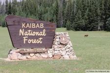 Kaibab National Forest (Eingang North Rim), Bison