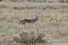 Kojote im Grand Teton Nationalpark