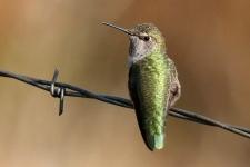 Kolibri (Hummingbird) sitz auf Stacheldraht
