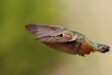 Kolibri (Hummingbird) im Flug