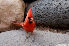 Roter Kardinal in Arizona