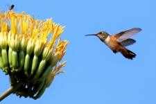 Kolibri (Hummingbird)