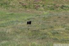 Grizzlybär an der Lake Louise Gondola