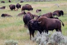 Bison Herde