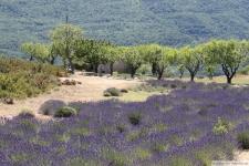 Lavendelfeld in Süd Frankreich