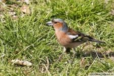 Buchfink auf der Wiese