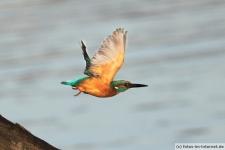 Eisvogel im Flug
