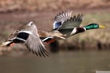 Bild von Enten im Flug