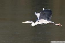 Graureiher fliegt über zugefrorenem See