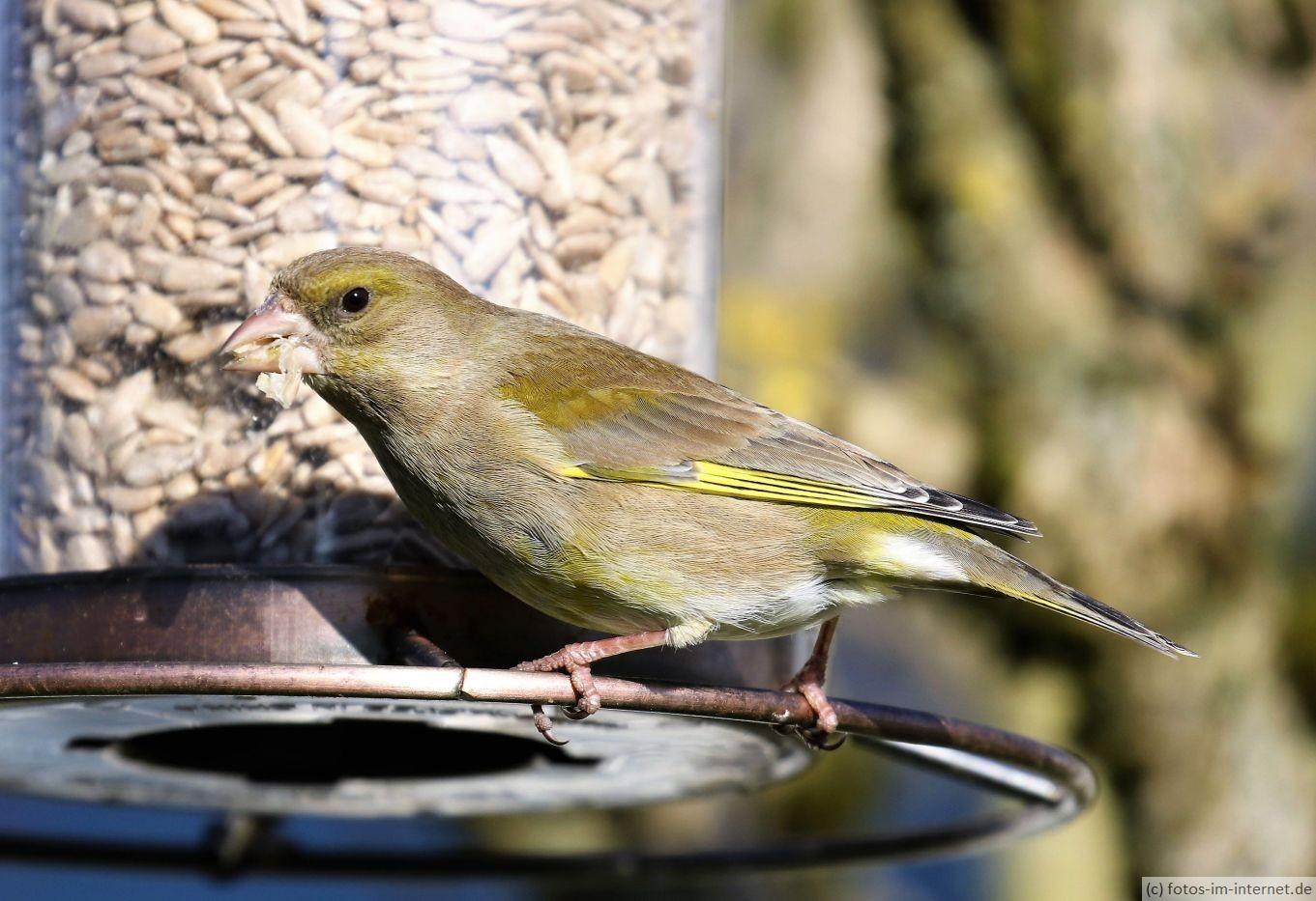 Heimische Vögel: Grünfink