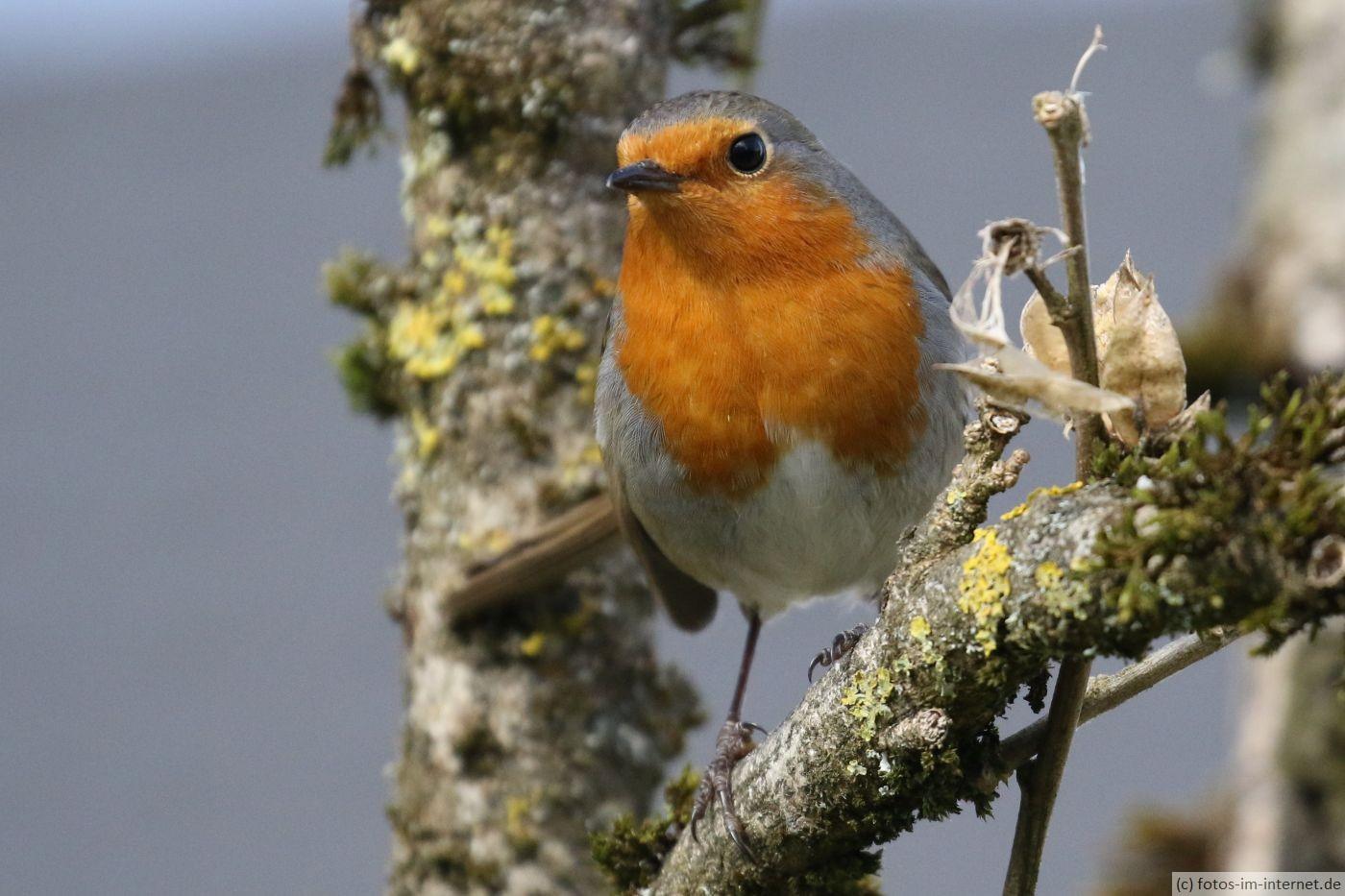 Heimische Vögel: Rotkehlchen