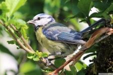 Heimische Vögel: Blaumeise