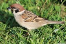 Heimische Vögel: Spatz auf der Wiese