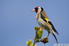 Singvogel Stieglitz (Distelfink) Foto