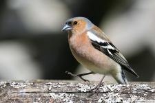 Heimische Vögel: Buchfink