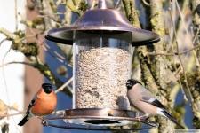 Heimische Vögel: Gimpel Männchen und Weibchen