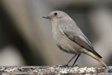 Heimische Vögel: Hausrotschwanz