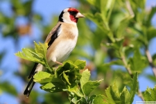 Heimische Vögel: Stieglitz