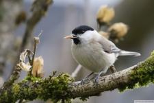 Heimische Vögel: Weidenmeise